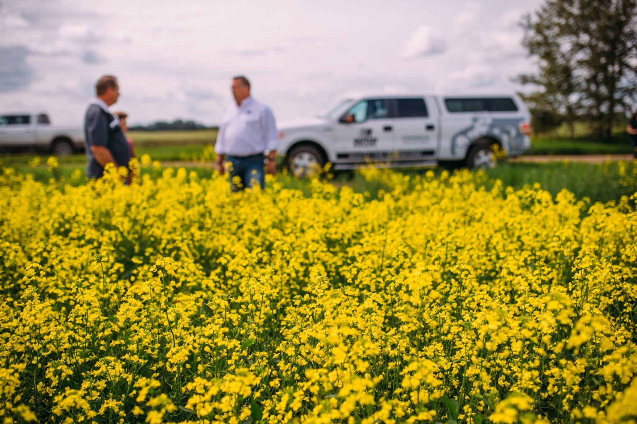 Two farmers standing outside in a canola field with two white pickup trucks in the background